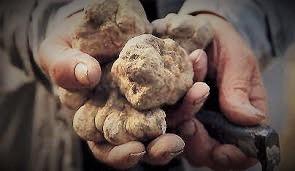 La truffe blanche est arrivée!